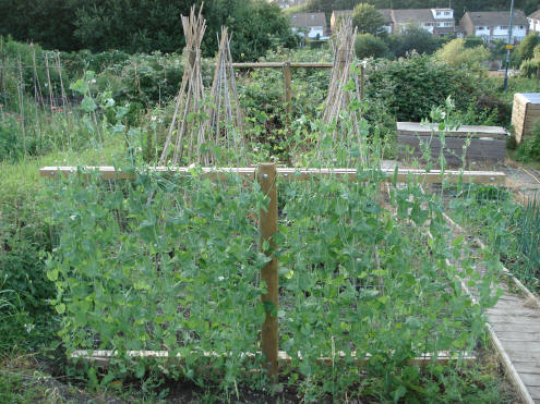 Below, In The Foreground, A Structure For Supporting Climbing Peas (variety  U0027Aldermanu0027), As With The Rectangular Support For Runner Beans (visible  Beyond ...